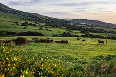 Herd of cattle grazing in a lush green pasture. On mountain slopes in golden evening light in Tarifa Beach, Andalusia, Spain stock images