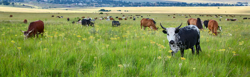 Herd of cattle grazing Royalty Free Stock Images