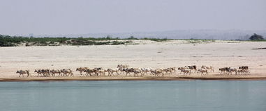 Herd of cattle at Irrawaddi river. A herd of cattle is moving along the banks of Irrawaddy river, Myanmar Stock Photo