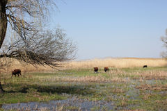 Herd of cattle. And landscaped with reed and water Stock Photos