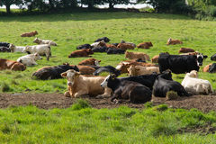 Herd of cattle, morning meadow. Stock Photos