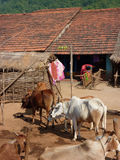 Herd of cattle near tribal village Stock Photography
