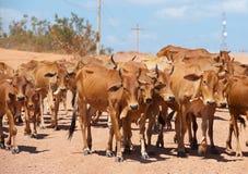 Herd of cattle Stock Photos