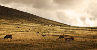 Herd of cattle at sunset. Herd of cattle grazing at high altitude in The Central Massif in Auvergne region of France stock photography