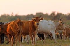 Herd of cattle in sunset light. Herd of feral cattle in sunset light at Sfantu Gheorghe, Danube Delta, Romania Stock Photo