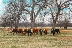 A herd of cattle of various colors lined up staring at the camera out in a field with bare trees and a pond in the background stock photos