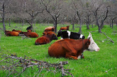 Herd of caws. Lying in a green meadow stock images