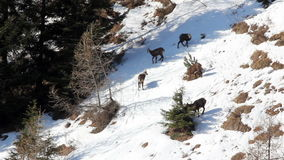 Herd of chamois in its natural environment, spring, italian Orobic Alps. stock video