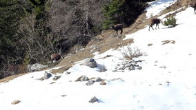 Herd of chamois in its natural environment, spring. stock footage