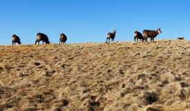 Herd of chamois in mountain Tatras Stock Photo
