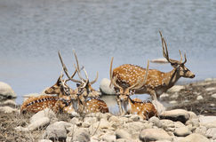 A herd of cheetal deers resting near  water Royalty Free Stock Photos