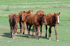 Herd of chestnut horses grazing on green meadow. Idyllic scenery with thoroughbred anglo-arab foals and mares Royalty Free Stock Photography