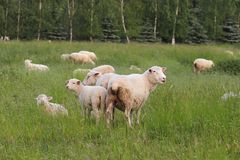 A herd of clear sheep color graze in a meadow with a tall green lush grass. Pasture of a farm with construction and trees. Industr royalty free stock photo