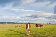 Herd of Clydesdale Horses Royalty Free Stock Photo