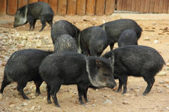 Herd of Collared Peccaries. Collared peccaries or javelinas in  zoo. Collared peccaries inhabit the southwestern United States and northern Mexico Royalty Free Stock Photos