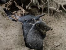 A herd of collared peccaries sleep among the roots of trees. Funny cute dirty musk hogs of different ages relax on the dry ground among the roots Royalty Free Stock Image