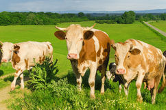 A herd of colorful cows on green pasture Stock Photography