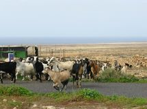 A herd colorful goats on Fuerteventura Royalty Free Stock Images