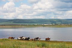 The herd of colorful horses runs along the river. In photo there is a beautiful landscape: big cumulus white clouds, mountains. Royalty Free Stock Photos