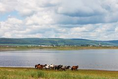 The herd of colorful horses runs along the river. In photo there is a beautiful landscape: big cumulus white clouds, mountains. Stock Photography