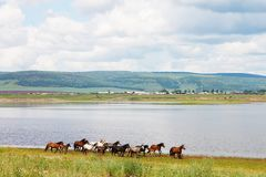 The herd of colorful horses runs along the river. In photo there is a beautiful landscape: big cumulus white clouds, mountains. Royalty Free Stock Photo