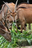 Herd of Common Eland. The Common Eland (Taurotragus oryx), also known as the Southern Eland or Eland antelope, is a savannah and plains antelope found in East Royalty Free Stock Image