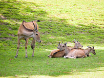 Herd of common eland on pasture - Taurotragus oryx Stock Image