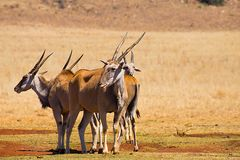 Herd Common Eland in savanna, Africa. Giant antelopes eland of Southern Eland. The family group in savanna south africa. The largest species of antelopes Royalty Free Stock Image