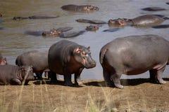Herd of Common Hippopotamus. Herd of Hippopotamus on shore and in the Mara River Stock Photo