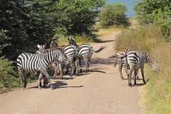 Herd of common zebras along a road Stock Photography