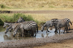 Herd of common zebras drinking from a water hole Stock Photography