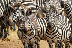 Herd of common zebras Stock Images