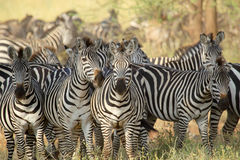 Herd of common zebras Royalty Free Stock Photo