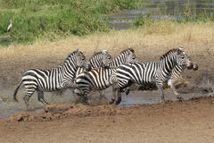 Herd of common zebras near a water hole. A herd of common zebras, Equus Quagga, near a water hole in Serengeti National Park, Tanzania Stock Photos