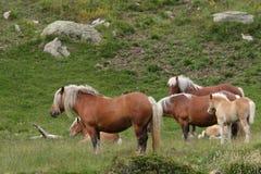 Herd of comtois horse Stock Photography