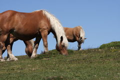 Herd of comtois horse Royalty Free Stock Photography