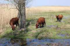 Herd of cow. Herd of cattle and landscaped with reed and water Stock Photos