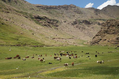 Herd of cow  at field in Suru Valley, Ladakh, India Stock Image