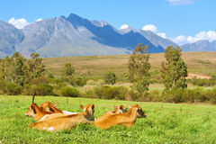 Herd of cow on grass in mountains Royalty Free Stock Photos