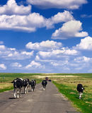 A herd of cow in grassland royalty free stock photo