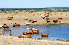 Herd of cow on lake at Portugal Stock Photos
