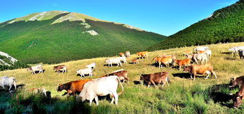 Herd,cow,nature,mountain,italy. Herd of cows grazing on the lawns of high altitude . Pollino massif . Italy Stock Photos