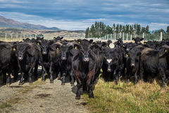 Herd of cow, New Zealand royalty free stock photography
