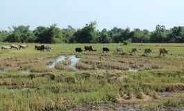 Herd of cow. Stock Images