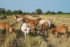 Herd of cow Royalty Free Stock Photo