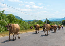 Herd of cow Royalty Free Stock Photography