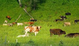 Herd of cow Stock Photos
