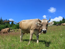 Herd of cows. On the meadow Stock Photography