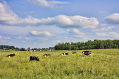 Herd of cows Royalty Free Stock Image