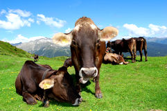 Herd of cows. On the Dolomites-Italy stock photography